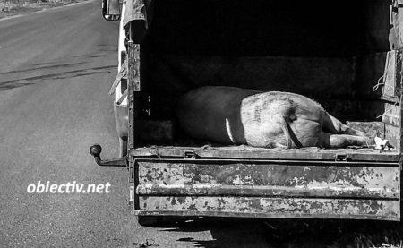 transport porci