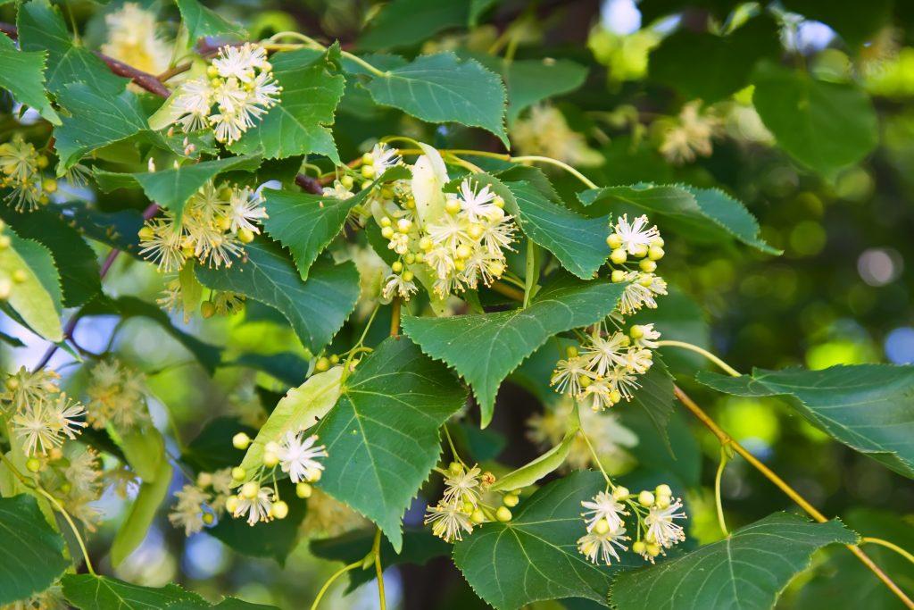 În poezia Dorință, florile de tei reprezintă unul din motivele romantice specifice lui Mihai Eminescu.